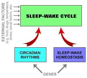 Circadian Rhythm Brain Prozac Rem Sleep